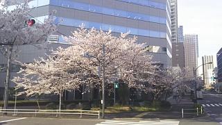20180326桜(その3)