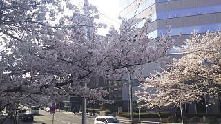 20180326桜(その4)