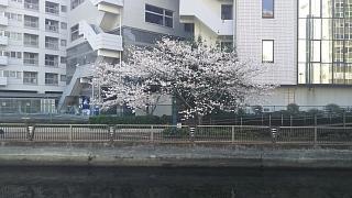 20180326桜(その5)