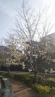 20180326桜(その6)