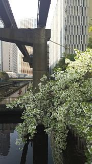 20180327桜(その4)