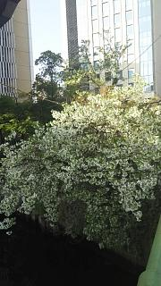 20180327桜(その6)