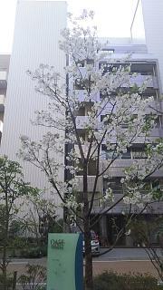 20180327桜(その8)