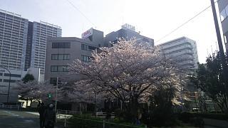 20180327桜(その11)