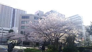 20180327桜(その12)