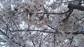 20180327桜(その13)