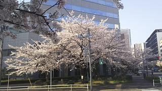 20180327桜(その15)