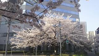 20180327桜(その17)