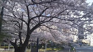 20180327桜(その19)