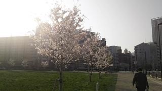 20180329桜(その1)