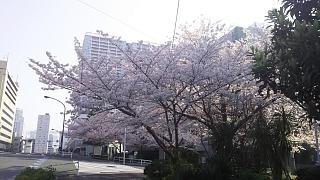 20180329桜(その6)