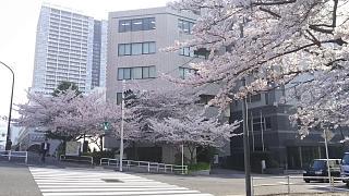 20180329桜(その7)