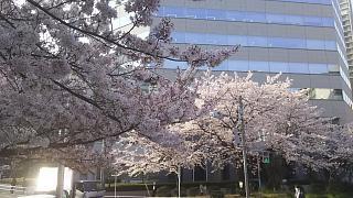 20180329桜(その8)