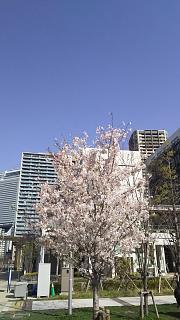 20180331桜(その1)
