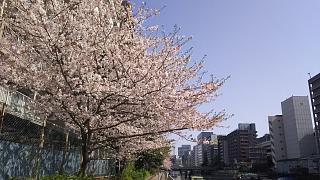 20180331桜(その3)