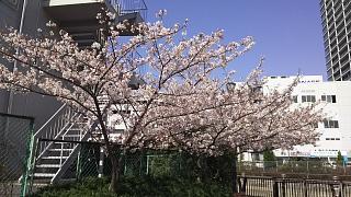 20180331桜(その13)