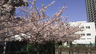 20180331桜(その16)
