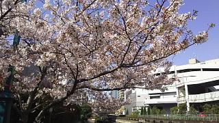 20180331桜(その17)