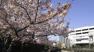 20180331桜(その18)