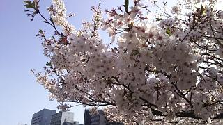20180331桜(その19)