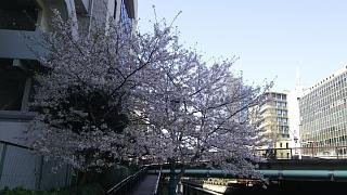 20180331桜(その21)