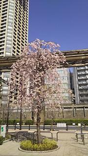 20180331桜(その22)