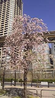 20180331桜(その23)
