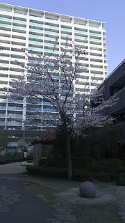 20180331桜(その25)