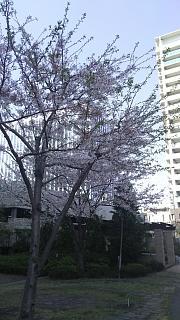 20180331桜(その26)