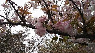 20180409仁和寺(その4)