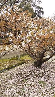 20180409仁和寺(その5)