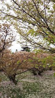 20180409仁和寺(その16)