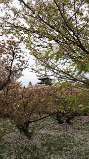 20180409仁和寺(その17)
