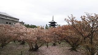 20180409仁和寺(その19)