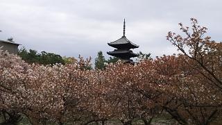 20180409仁和寺(その21)