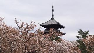 20180409仁和寺(その24)