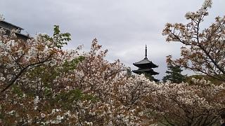 20180409仁和寺(その31)