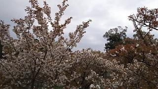 20180409仁和寺(その38)