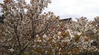 20180409仁和寺(その43)