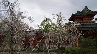 20180409平安神宮(その11)