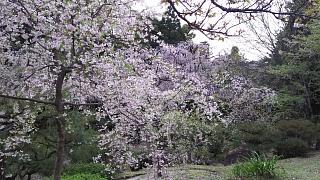 20180409平安神宮(その12)