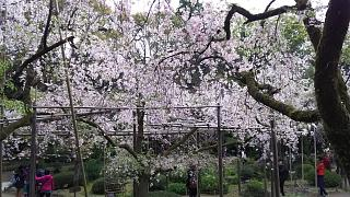 20180409平安神宮(その15)