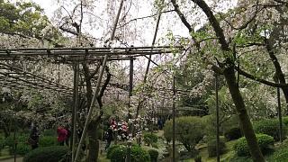 20180409平安神宮(その16)