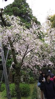 20180409平安神宮(その22)