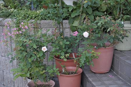 roses20180819.jpg