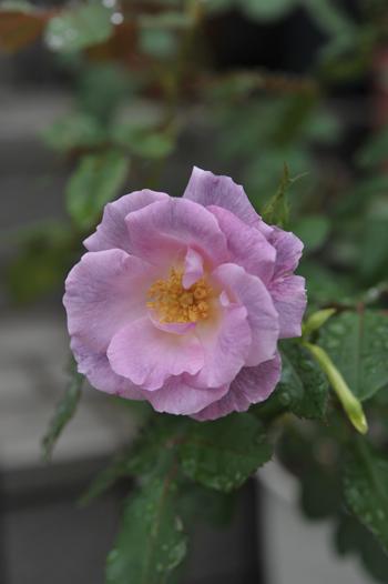 roses20180922-1.jpg