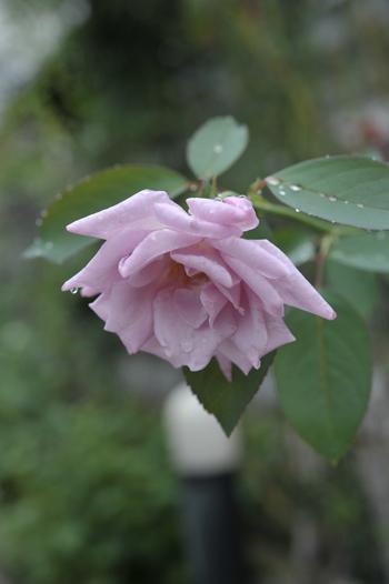 roses20180922-2.jpg
