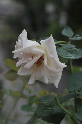 roses20180922-3.jpg