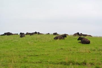 宗谷黒牛3