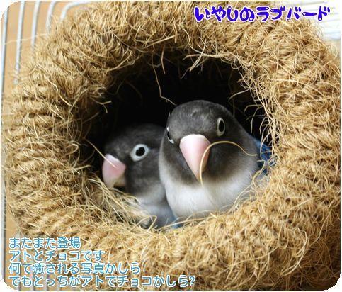 ①アトチョコ巣の中